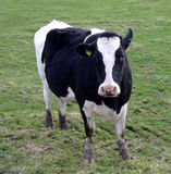 fresian的母牛 图库摄影