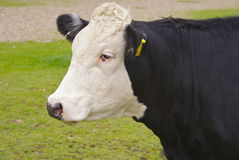 Fresian cow profile Stock Image