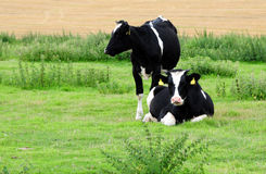 Fresian cows Royalty Free Stock Images
