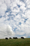 Fresian cows grazing Stock Photo