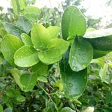 Fress-Zitrone leafe lizenzfreie stockbilder