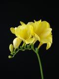 Fressia giallo sul nero Fotografia Stock
