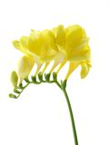 Fressia Isolated On White. A single stem of freesia isolated on a white background Royalty Free Stock Image