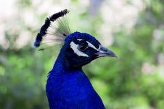 fresta för 5 påfågel Arkivfoto