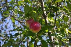 Frestande röda äpplen Arkivfoton