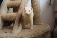 fret Vrouwelijke albinovolwassene stock afbeeldingen