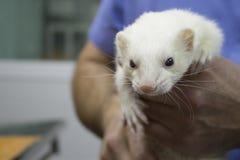 Frettchen überreichen Tierarzt Stockfoto