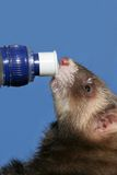 Frettchen auf der Flasche