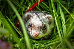 Frettchen im Gras Lizenzfreies Stockbild