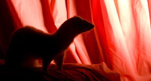 Frettchen-Schattenbild Stockfoto