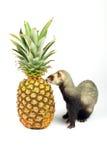 Frettchen schnüffelt Ananas Lizenzfreie Stockfotografie