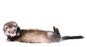 Frettchen-Wiesel, der vorbei rollt Stockfoto