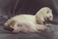 Frettchenmutter und ihre alten Babys der Wochen, die Milch saugen lizenzfreies stockbild