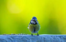 Freundliche Blaumeise und Sonnenblumensamen auf Balkon Lizenzfreie Stockfotos