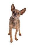 Freundliche Chihuahua und Terrier gemischter Zuchthund Lizenzfreie Stockfotos