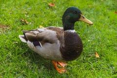 Freundliche Ente, die für Foto aufwirft lizenzfreie stockbilder