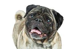 Freundliche glückliche lächelnde Pug-Hundenahaufnahme Lizenzfreie Stockbilder