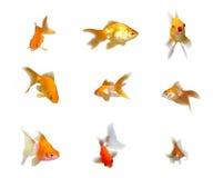 Freundliche Goldfishes eingestellt worden Lizenzfreie Stockfotos
