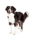 Freundliche Grenze Collie Dog Standing Lizenzfreie Stockfotos