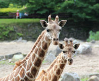 Freundliche große Giraffe des Porträts und kleine Giraffe lizenzfreies stockfoto
