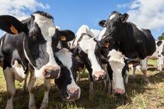 Freundliche neugierige Schwarzweiss--Holstein-Milchkühe Stockfotografie