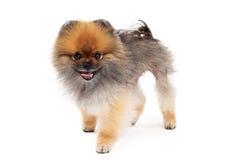 Freundliche Pomeranian-Hundestellung Lizenzfreie Stockbilder