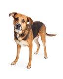 Freundliche Schäfer-Mixed Breed Dog-Stellung Lizenzfreie Stockfotografie
