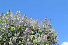 Freundliche, schöne und nette Frühlingsflieder, die eine hellere Zukunft anstrebt stockbild