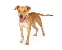 Freundliche Staffordshire-Bullterrier-Mischungs-Zucht-Hundestellung Lizenzfreie Stockfotos