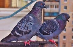Freundliche Tauben Stockbilder