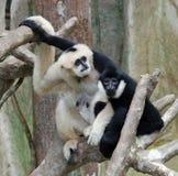 Freundliche weiße u. schwarze Affen Lizenzfreies Stockfoto