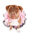 Freundliche weibliche Pitbull im Rosa Stockfotos