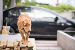 Freundlicher goldener Apportierhund Lizenzfreie Stockbilder