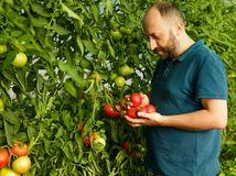 Freundlicher Mann, der frische Tomaten vom Gewächshaus erntet Stockfotografie
