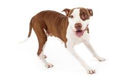 Freundlicher Pit Bull Dog Playing Lizenzfreies Stockbild