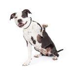Freundlicher Pit Bull Dog Raising Paw Stockfoto