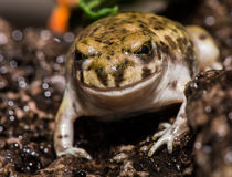 Freundlicher schauender Frosch, der auf einem Felsen hockt Lizenzfreie Stockbilder