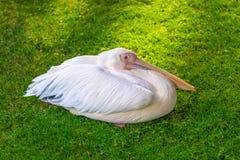 Freundliches buntes Pelikanbild Lizenzfreie Stockbilder