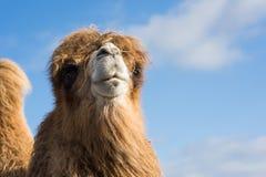 Freundliches Kamelporträt Stockfoto