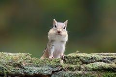 Freundliches kleines Fall-Streifenhörnchen Lizenzfreies Stockbild