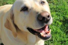 Freundliches labrador retriever mit einem Lächeln stockbild