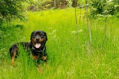 Freundliches rottweiler, das ein breites Lächeln gibt Stockfoto