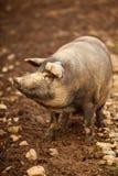 Freundliches Schwein Lizenzfreie Stockfotos