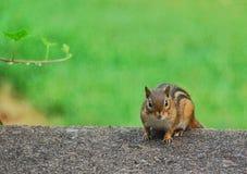 Freundliches Streifenhörnchen Stockfotografie