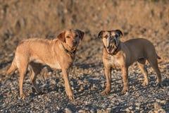 Freundschaft zwischen kontinentaler Bulldogge und Labrador-Retrievern Zwei Hundefreunde in der Natur lizenzfreie stockbilder