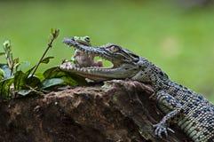 Freundschaftsfrösche und -alligatoren Stockfotos