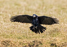 Freux - frugilegus de Corvus image libre de droits