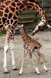 Freya the baby giraffe with mum. Freya the baby giraffe at Woburn safari park with proud mother stock photo