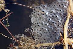 Freza de la rana Imagen de archivo libre de regalías