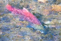 Freza de salmones en Alaska Fotos de archivo